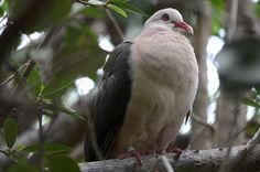 Mauritius Bird trip report January 2013