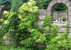 Hydrangea Anomala Petiolaris - Kletterhortensien