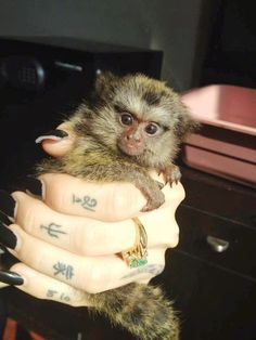 finger monkey, marmoset