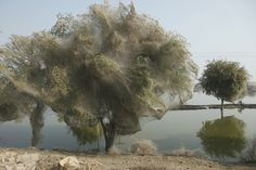 Trees shrouded in ghostly cocoons line the edges of a submerged farm field in the Pakistani village of Sindh, where 2010's massive floods drove millions of spiders and possibly other insects into the trees to spin their webs.