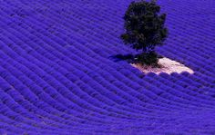 You May Be Wandering: Another Oldie But Goodie...Lavender Fields of Provence