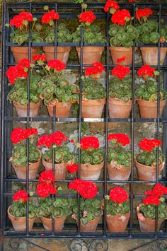 pots and pots of red geraniums