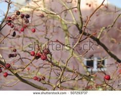 branches of autumn tree with burgundy-colored fruits on a background of a pink house wall. morning in a European city.