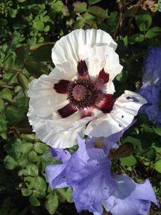 Poppy and bearded iris