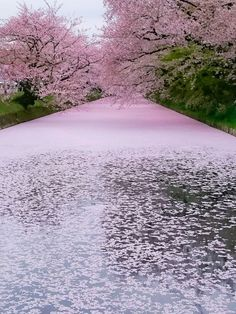 Just stunning moment at Hirosaki Park - the most beautiful Cherry Blossom in Japan Beautiful World, Beautiful Places, Beautiful Pictures, Cherry Blossom Japan, Cherry Blossoms, Aomori, Blossom Trees, Nature Wallpaper, Tree Wallpaper