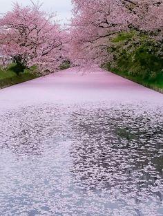 "lifeisverybeautiful: "" Cherry Blossom, Aomori, Japan """