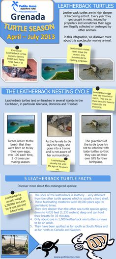 Infographic on #leatherback #turtles in #Grenada