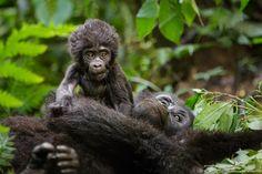 Newborn - Portrait of a playful newborn mountain gorilla just three months old. Shot while tracking the Rushegura gorilla family at Bwindi Impenetrable National Park, Uganda.