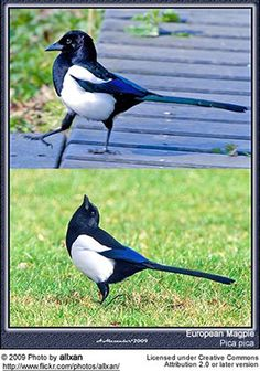 European Magpies  Magpies are territorial and stay in their territory all year, even in north of the species range. The pairs are monogamous, and remain together for the duration of their lives. Should one of the two die, the widow or widower will find a new partner from the stock of yearlings. Eurasian Magpie, Crows Ravens, Birds 2, Exotic Birds, Blue Jay, Animals And Pets, Two By Two, Pie Pie, Drawings