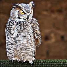 white owl by Fred Matos #xemtvhay