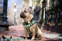 ...How I pay my way through obedience school. #Modeling Collar: @oliveandatlas  Harness & leash: @frenchie_bulldog by maximusthefrenchie