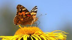 Kukkien tuoksu houkuttelee hyönteisiä  - Oppiminen | yle.fi Moth, Insects, Animals, Animales, Animaux, Animal, Animais