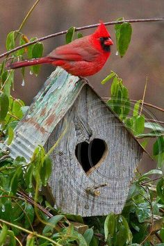 Cardinal sentry.