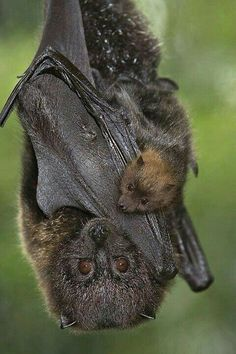 Rodrigues fruit bat (Pteropus rodricensis) are only found on the Rodrigues Island in the Indian Ocean and are critically endangered. This is a great photo of a bat with pup! Nature Animals, Animals And Pets, Baby Animals, Cute Animals, Strange Animals, Beautiful Creatures, Animals Beautiful, Amor Animal, Fruit Bat
