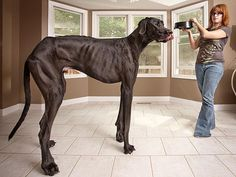 """""""Guinness World Records 2013 World's Tallest Dog : Zeus sleeps on his own queen-size bed. Now 3 feet, 8 inches tall – and 150 lbs."""""""
