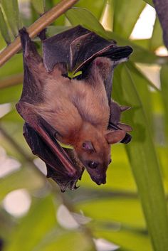 Lesser short-nosed fruit bat  ...Hanging from a palm frond holding her baby with her wing.