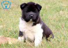 This charming Akita puppy has a wonderful personality. This puppy is AKC registered, vet checked, vaccinated, Akita Puppies For Sale, Baby Puppies For Sale, Corgi Puppies, Equine Photography, Animal Photography, Cute Dogs, Cute Babies, Black Labrador, Black Labs