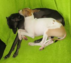 Pink and Peach having a nap :) Italian Greyhound, Colourful Outfits, Pitbulls, Peach, Cold, Greyhounds, Madness, Pink, Animals