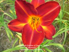 Photo of Daylily (Hemerocallis 'Bruce') uploaded by vic