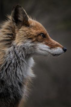 Ezo Red Fox by Hiroki Inoue on 500px