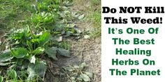 This #weed is actually a #healing #herb! http://livingtraditionally.com/plantain-herb-benefits/