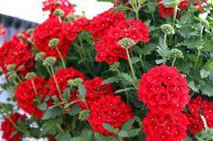 Image result for red Verbena