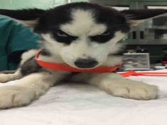 I AM SAFE THANK YOU       SUPER URGENT 03/08/16 IZZY – A1067034  SAFE  THANK YOU These animals are SAFE!                         **NEEDS IMMEDIATE VET CARE**  FEMALE, WHITE / GRAY, SIBERIAN HUSKY MIX, 4 mos STRAY – ONHOLDOFFS, NO HOLD Reason STRAY Intake condition EXAM REQ Intake Date 03/08/2016, From NY 11208, DueOut Date 03/11/2016,