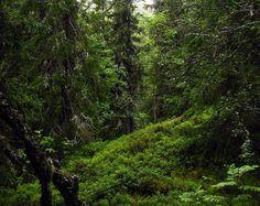 Floresta de abetos sem cortes. Parque Nacional Fulufjället, na província de Dalarna, Suécia.  Fotografia: Vilseskogen no Flickr.