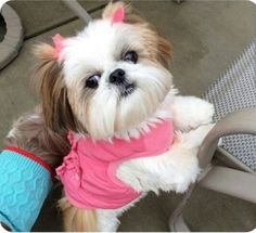 "Find out even more info on ""shizu pup"". Take a look at our website. Perro Shih Tzu, Shih Tzu Puppy, Shih Tzus, Shitzu Puppies, Cute Puppies, Cute Dogs, Dogs And Puppies, Doggies, Teddy Bear Dog"
