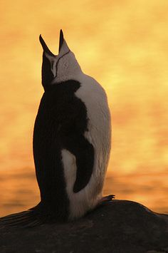 Chinstrap Penguin (Pygoscelis antarctica) calling, Antarctica