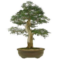 Bonsai Pithecolobium 30 anos - Ideal Bonsai