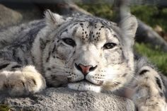 A Very Relaxed Clouded Snow Leopard.