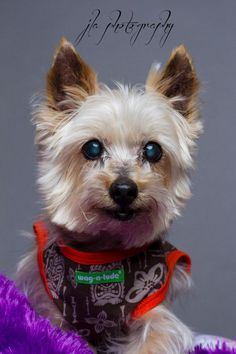 Meet Spanky, a Petfinder adoptable Yorkshire Terrier Yorkie Dog | Baton Rouge, LA | Adoption Fee: $150Fostered in LouisianaAge:13.5 yearsWeight: 7 lbs11/12/14 - Along with Senior...