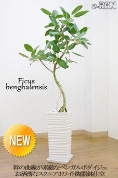 【送料無料】の観葉植物 ベンガルボダイジュ