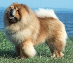 Chinese Chow Chow one of the top ten dangerous dogs list because of its background in china killing bears.
