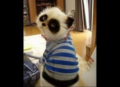 The Panda Cat from Huffington Post. Both things I love!