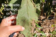 Flea Beetle Damage to Eggplant Leaves...how to prevent