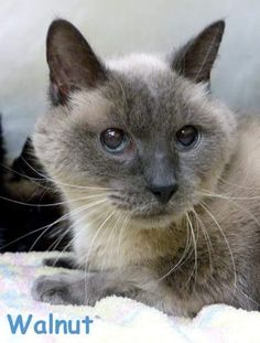 Walnut is a male bonded senior with Pecan, 10yr. old Blue Point Siamese whose owner passed away. Currently at Ingham County Animal Shelter. You can also contact Blue's Mews Siamese Cat Rescue, Fairborn,OH.