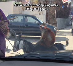 Monkey with sunglasses riding a coat... Wait what?