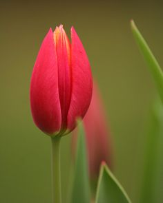https://flic.kr/p/5m1qUY | Bursting | My very own personal tulips.  I'm so proud. (Simper)