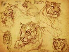 Tiger Sketches, Drew Hill on ArtStation at http://www.artstation.com/artwork/tiger-sketches