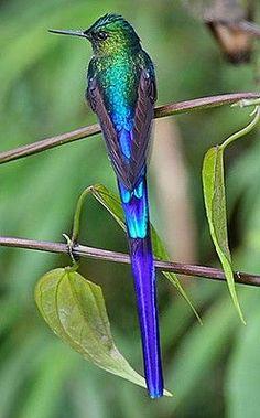 Colibri, Équateur