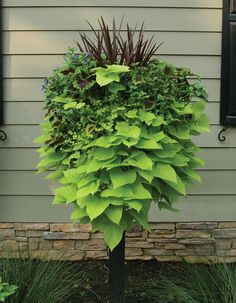 Coleus and sweet potato vine for planter-- like the pedestal idea with voluminous potato vine