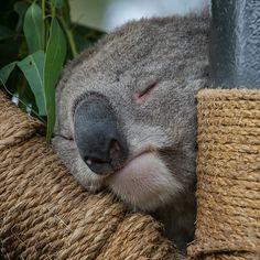 Sleepy Koalafornia resident. Animals And Pets, Baby Animals, Funny Animals, Cute Animals, Beautiful Creatures, Animals Beautiful, Koala Bears, Tier Fotos, My Animal