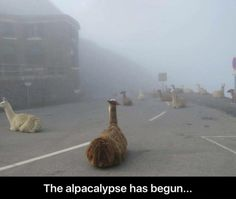 tour de france delayed due to llamas on roads. my aesthetic. Cute Funny Animals, Funny Animal Pictures, Funny Cute, The Funny, Hilarious, Funny Memes, Llamas, Gabe The Dog, Animal Memes