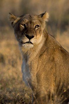 Lioness Portrait by Bahaadeen Al Qazwini on 500px