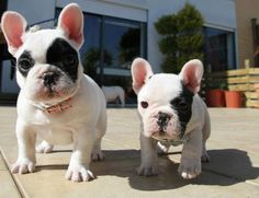 More French bulldog cuties
