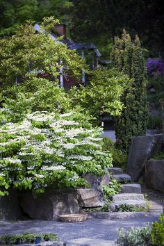 Japanskt olvon I Viburnum plicatum f. tomentosum 'Mariesii' I Zetas Finsmakarens Trädgård
