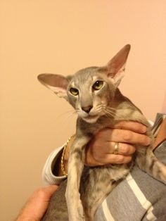 Lovely Oriental Shorthair Rare Cats, Exotic Cats, Cute Kittens, Cats And Kittens, Chat Oriental, Oriental Cat Breeds, Animals And Pets, Cute Animals, Oriental Shorthair Cats