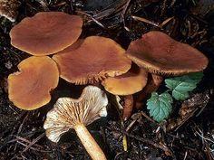 Candy Cap mushroom- edible